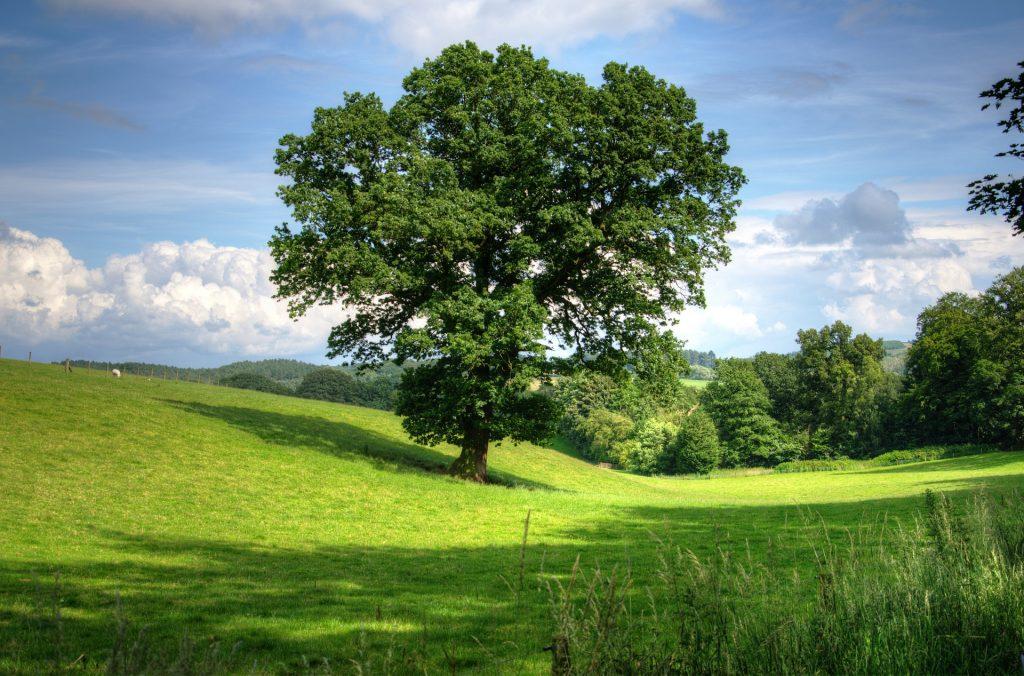 Grote boom in de tuin